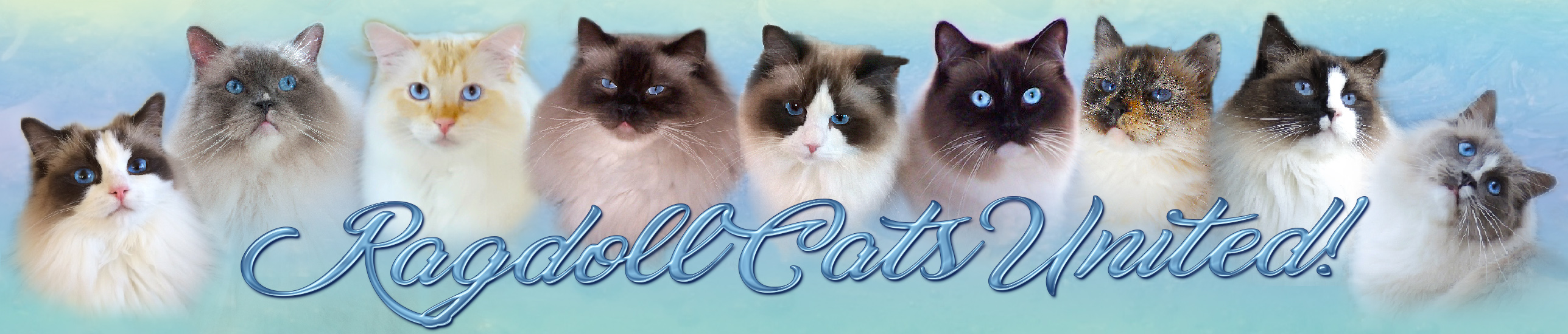 RagdollCatsUnited.com forum banner pictures of beautiful Ragdoll cats